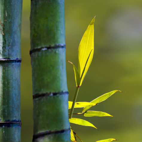 The beautiful bamboo branch in bamboo forest with beautiful green nature background